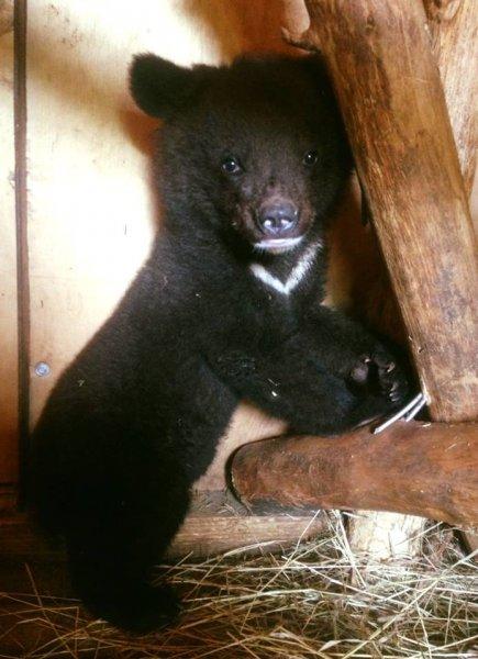 Жители Приморья с трудом «отвоевали» медвежонка у живодёров