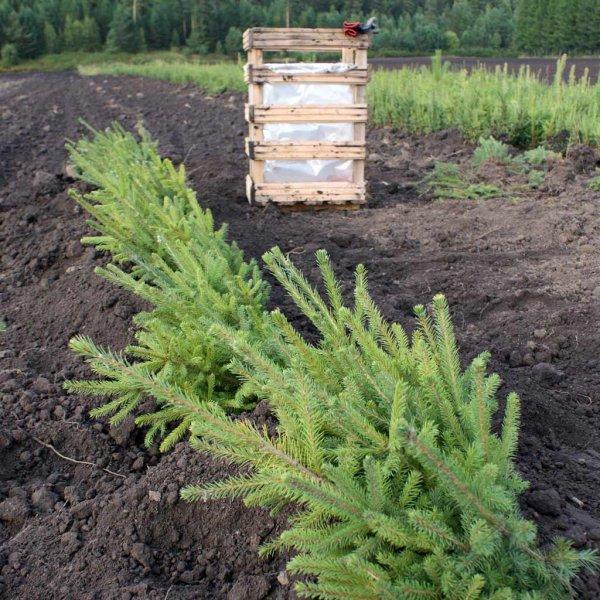 Молодые елки скосили вместе с травой в Красноярске