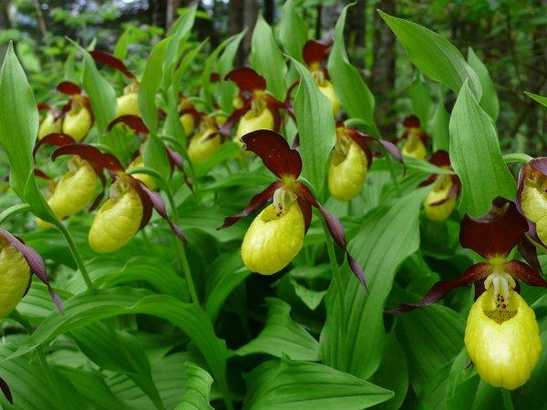 Краснокнижную орхидею нашли экологи в Подмосковье