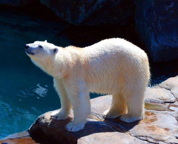 Белый медведь из пензенского зоопарка сможет охотиться на карасей