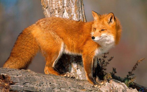 Дикие лисы массово ринулись в Москву