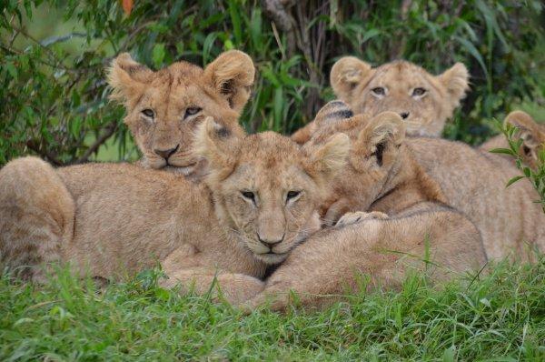 Африканские львята родились в зоопарке в Екатеринбурге