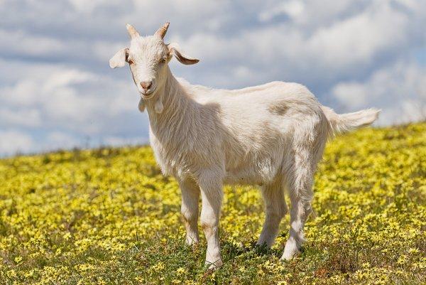Уставшая от колхозной жизни коза решила вплавь добраться до Ростова