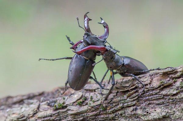 Видео эпичной битвы двух огромных жуков «взорвало» Сеть