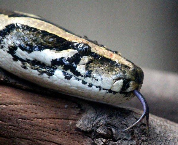 Из-за наводнения змеи мигрировали в населенные пункты Забайкалья