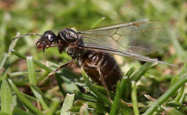 Власти Москвы объяснили нашествие летающих муравьев