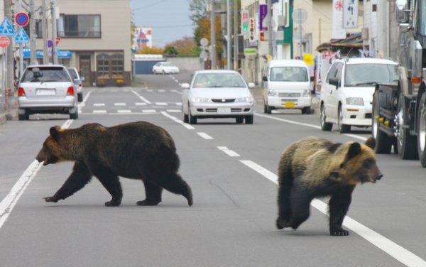 Семью гуляющих по Норильску медведей запечатлели на видео