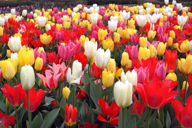 В Москве посадят двенадцать миллионов тюльпанов
