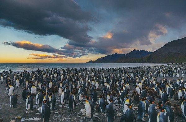 Пользователей Сети восхитило фото тысячи пингвинов с детенышами