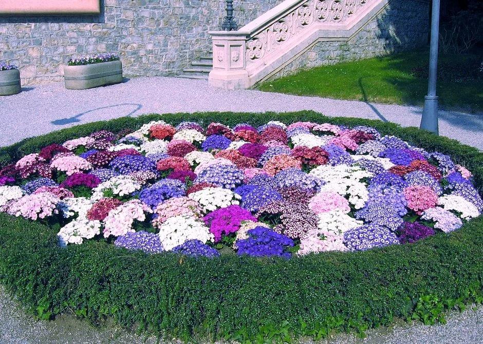 Почему московские клумбы украсили 1,5 млн цветов агератума